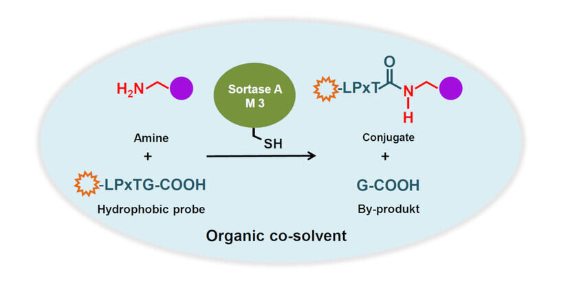 Scheme Directed Evolution of Sortase A