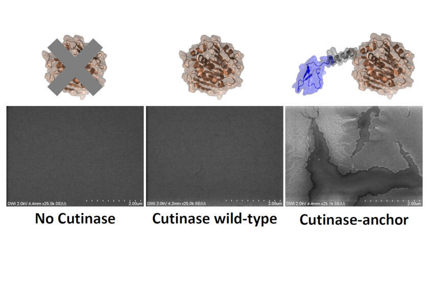 Field emission scanning electron microscopic image of microplastic degradation by cutinases