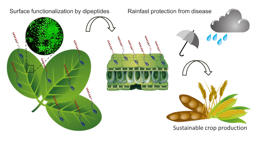 Rainfast plant protection from disease by surface functionalizing dipeptides