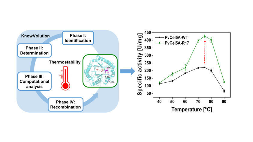 KnowVolution protein engineering campaign towards improved thermostability of the cellulase PvCel5A. The specific activity of the variant R17 was improved in 100 % compared to wildtype at 75 °C.