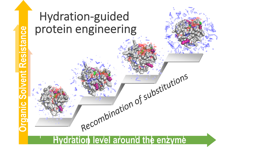 Hydration-guided protein engineering