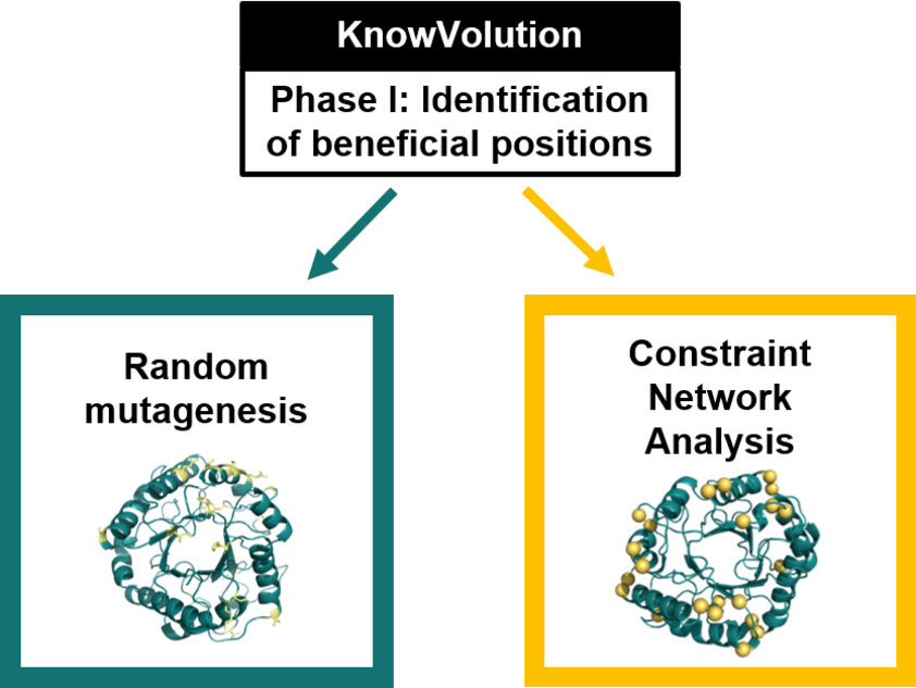 Utilization of Constraint Network Analysis or random mutagenesis in the identification Phase of a KnowVolution engineering campaign. Copyright: Computational and Structural Biotechnology.