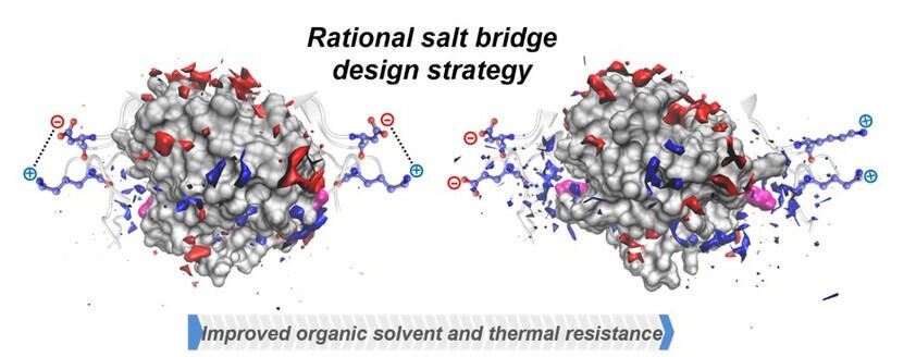 Rational salt bridge  design strategy: Enzyme surface interacts with organic solvents.