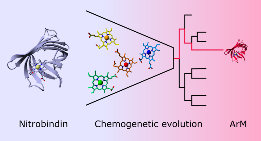 Scheme: Chemogenetic evolution of an artificial peroxidase-like metalloenzyme.